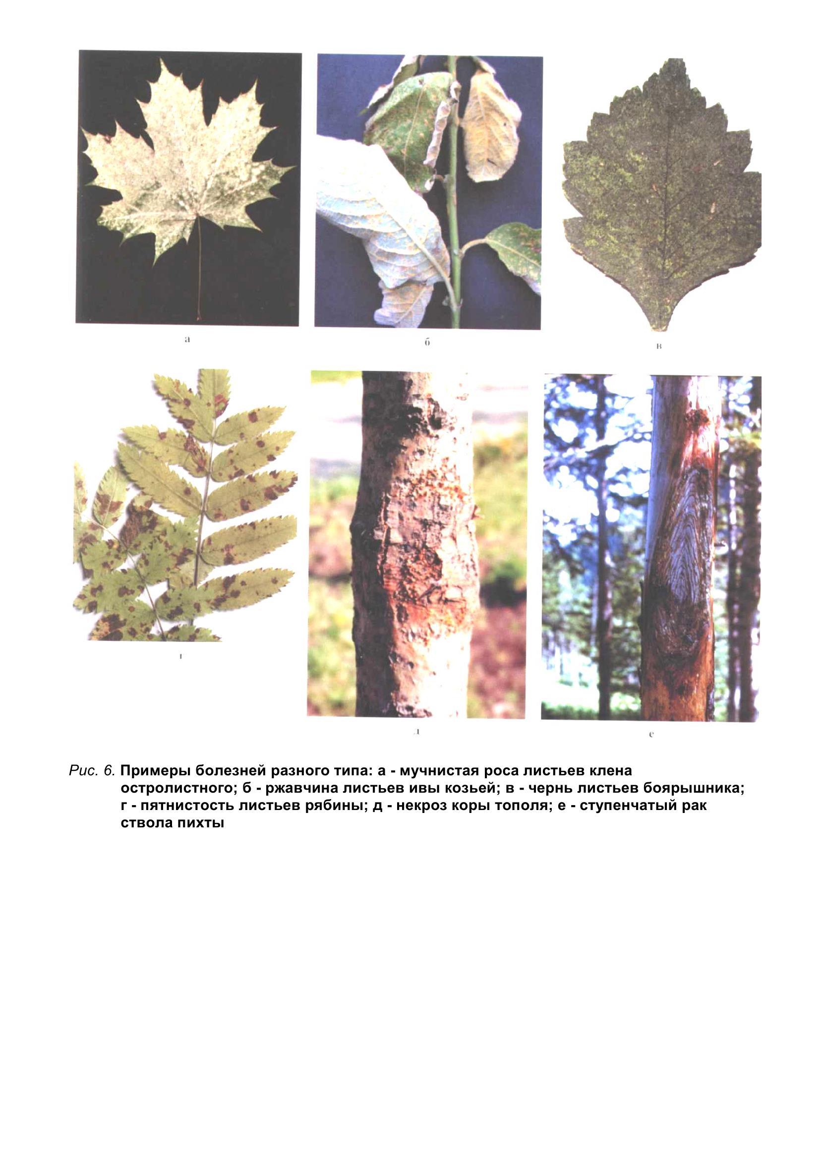 Болезни_древесных_растений_016.jpg
