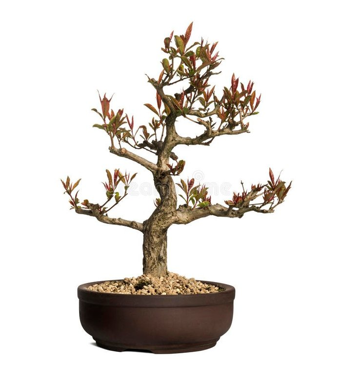 pomegranate-bonsai-tree-punica-granatum-isolated-white-32494574.jpg